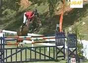 Cavalo - égua sela francês + 2 poldros (linhagens de grande premio - saltos/ dressage)