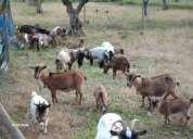 cabras anãs seda