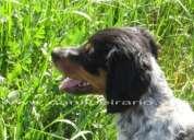 Epagneul breton - cachorros tricolores c/ lop e afixo - ultimos disponiveis