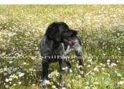 epagneul breton - cachorros com lop e afixo - ultimos disponiveis