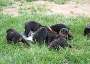 Filhotes de rottweiler para amantes do cão