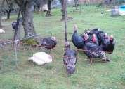 Vendo patos do campo, paus tratados e cercas electricas