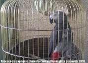 Desapareceu papagaio cinzento