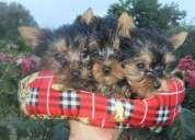 Doces de personalidade masculina e feminina yorkshire terrier cachorros para adoção
