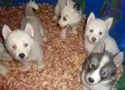 Masculinos e femininos huskies siberianos para adoção