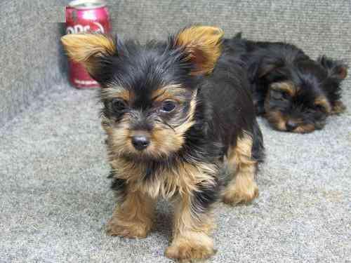 Macho e fêmea Yorkshire terrier cachorros para adoção.